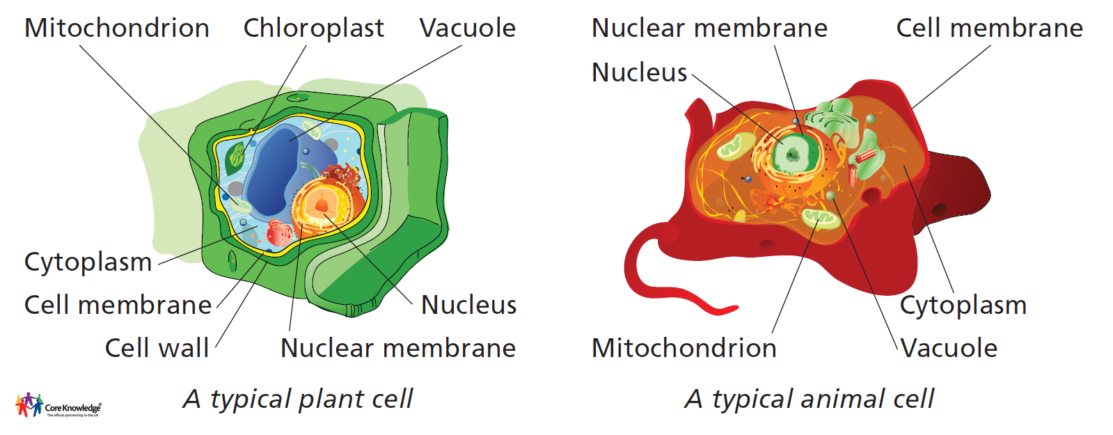 mitochondria and chloroplast essay Mitochondria are rod-shaped structures that the structure of the mitochondria biology essay print the chloroplast is the organelle where photosynthesis.